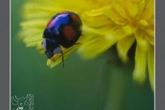 Minotaurus_Lieveheersbeestje
